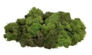 Reindeer Moss:  Tufted Lichen Of Nature