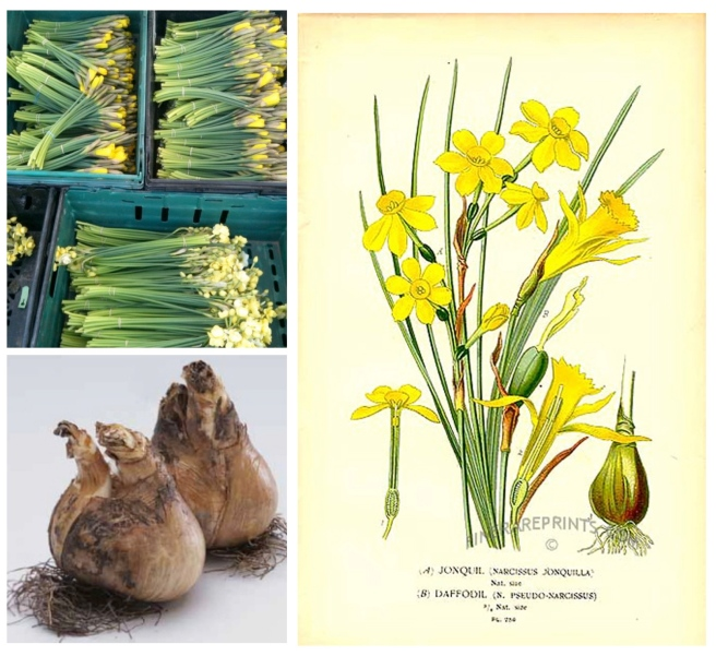 The Yellow Daffodil:  A Harbinger Of Spring