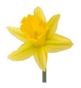 The Beautiful Daffodil