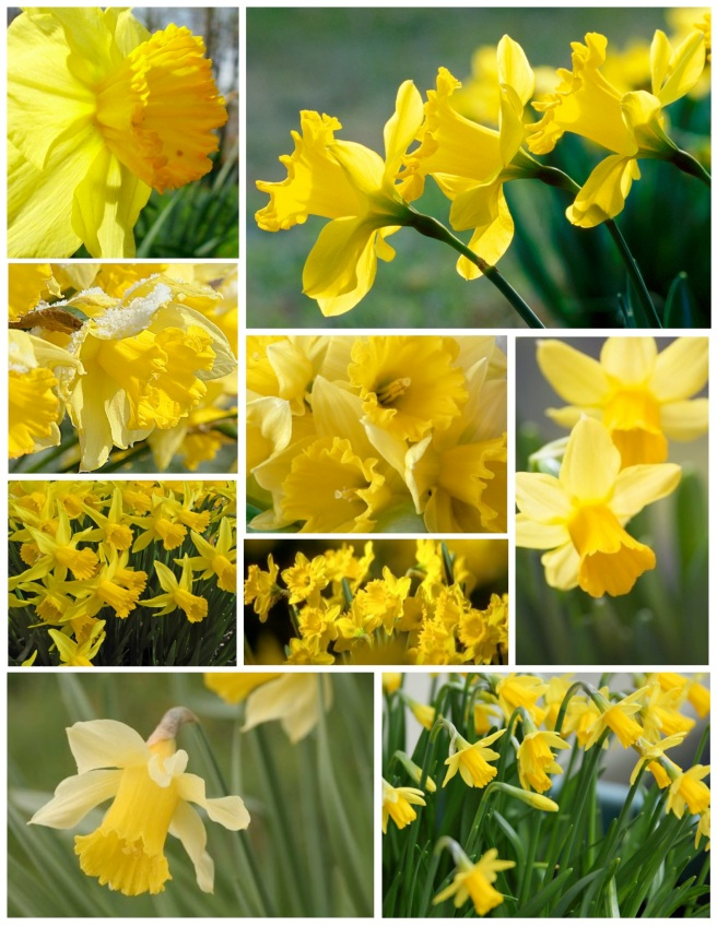 Vivid Yellow Daffodils:  A Sign Of Spring