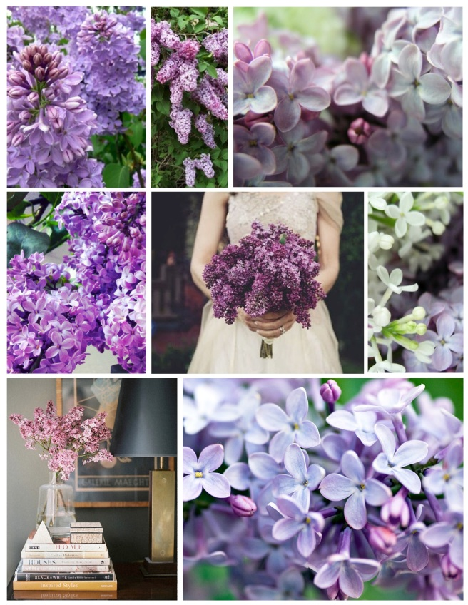 The Glory Of The Lilac