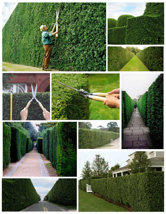 The Hedge:  Shaped Perfection Of Nature