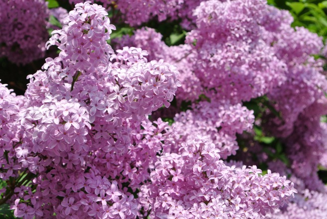 Profusion Of Intoxicating Blooms:  Lilacs