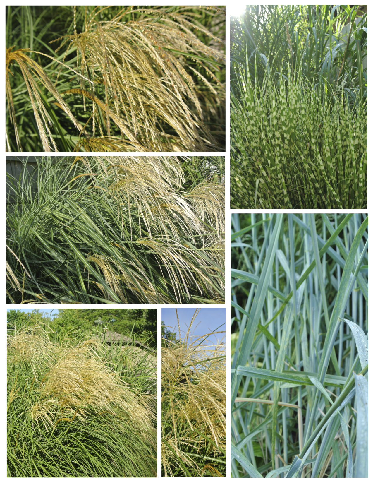An appreciation of the plumage and bold distinction of for Decorative grasses