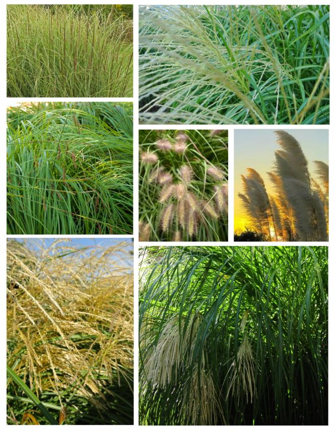 Multi-Season Appeal:  Distinction With Ornamental Grasses