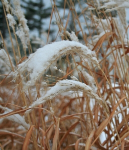 Snow Topped Elegance:  Ornamental Grasses In Winter