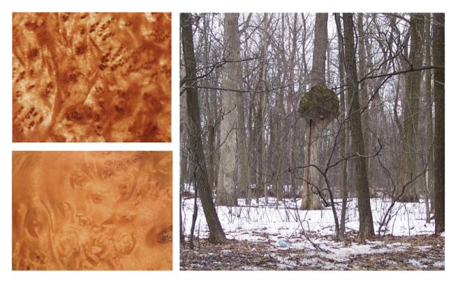 Burl Wood:  Nature's Wonder Of Distinction