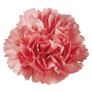 Ruffled Layers Of Distinction:  The Carnation