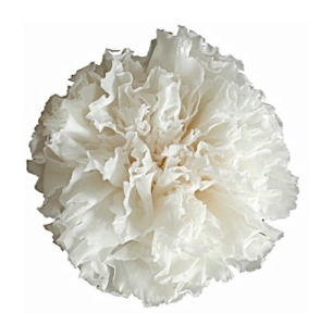 Frilled Delight:  The Elegance Of The Layered Petals Of The Carnation