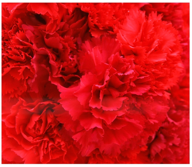 An Emblem Of Love:  Crimson Carnations On Valentine's Day