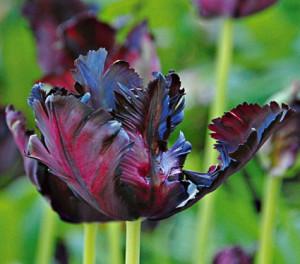 "The Striking ""Black Parrot"" Tulip"