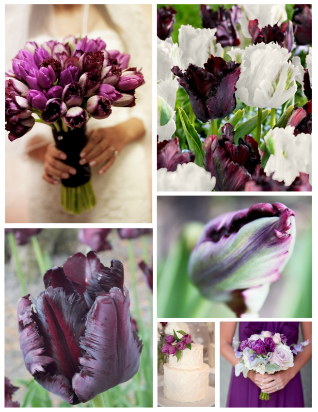 The Coveted Spring Bulb:  The Glorious Parrot Tulip In Purple Delight