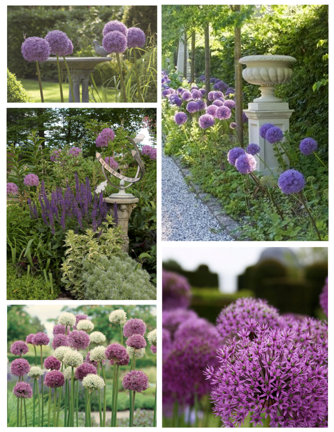 Flowering Distinction: The Allium Of Towering Appeal