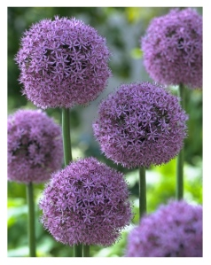 Interior Delights:  Alliums On Display