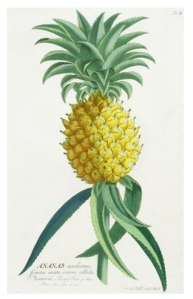 The Symbol Of Hospitality:  Nature's Pineapple