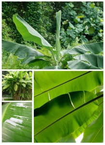 The Banana Leaf:  Glossy, Striking Appeal
