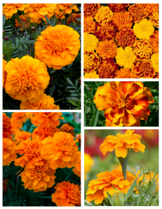 The Vibrant & Frilly Marigold