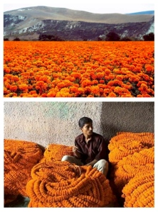 Fields Of Marigolds &  The Decoration Of Vibrant, Floral Color