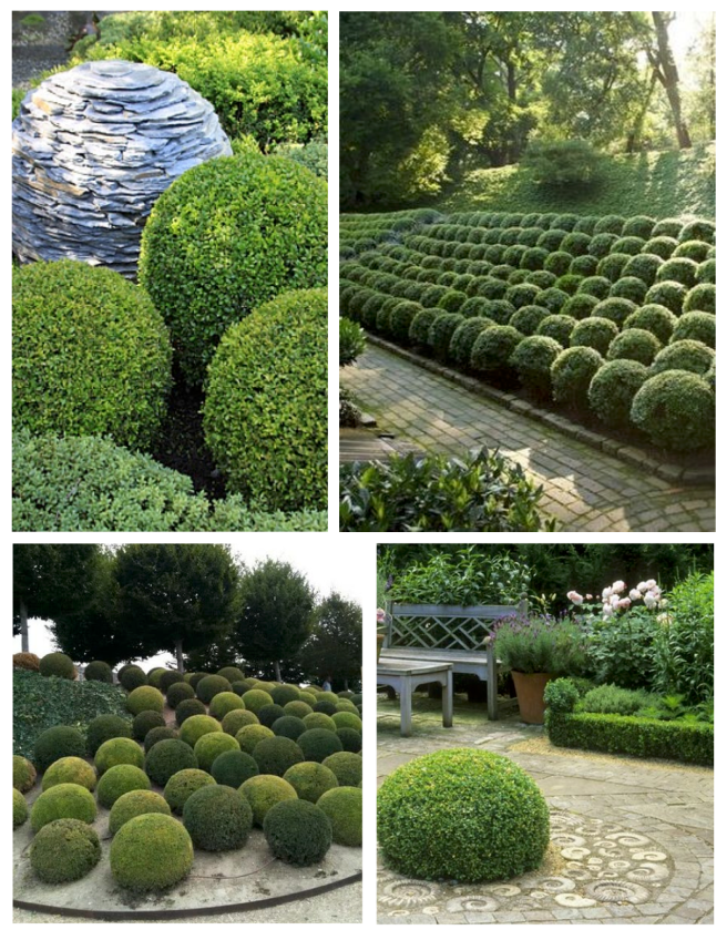 Spheres In Landscape Formed Within Nature:  Pruned Boxwoods
