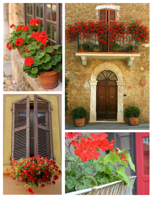 Cascading & Vibrant Colorful Delight:  Red Geraniums