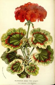 The Timeless Geranium